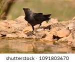 the western jackdaw  coloeus... | Shutterstock . vector #1091803670