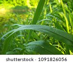 green reeds with a dew drops   Shutterstock . vector #1091826056