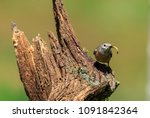 the common redstart  or often... | Shutterstock . vector #1091842364