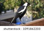 Closeup Of Australian Magpie...