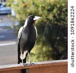 closeup of australian magpie... | Shutterstock . vector #1091862224