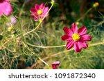 cosmos bipinnatus  cosmos...   Shutterstock . vector #1091872340