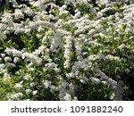 spiraea cinerea 'grefsheim' ... | Shutterstock . vector #1091882240
