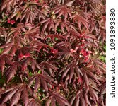 Small photo of Red Spring Leaves and Fruit of a Japanese Maple (Acer palmatum) in a Country Cottage Garden in Rural Devon, England, UK