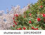 Beautiful  Bright Red Camellia...