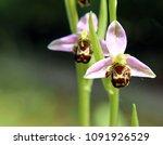 Bee Orchid. Wild In My Garden.