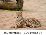 Cheetah Cross Legged After A...