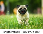 dog  pug  animal  puppy  pet ... | Shutterstock . vector #1091975180