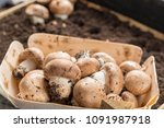 cultivation of brown... | Shutterstock . vector #1091987918