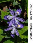 Iris Cristata Known As Dwarf...