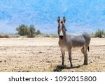 somali wild donkey  equus... | Shutterstock . vector #1092015800
