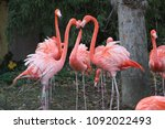 Pink Flamingo Or Flamingoes Are ...