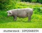 pig running on a green meadow.... | Shutterstock . vector #1092068354