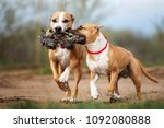 two american staffordshire... | Shutterstock . vector #1092080888
