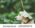 rainy day with dog in nature.... | Shutterstock . vector #1092094970