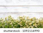 miniature daisies or bellium...   Shutterstock . vector #1092116990