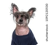 chinese crested dog   5 years... | Shutterstock . vector #1092120530