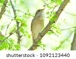 thrush nightingale  bird. | Shutterstock . vector #1092123440