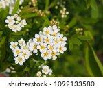 spiraea cinerea 'grefsheim' ... | Shutterstock . vector #1092133580