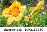 Stock photo yellow daylily flower hemerocallis in the summer garden 1092183680