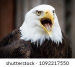 Bald Eagle Screeching  Calling  ...
