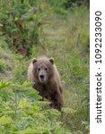 Small photo of Kodiak Bear Vertical