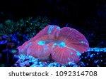 lps coral in saltwater reef... | Shutterstock . vector #1092314708