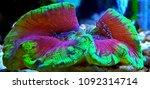 lps coral in saltwater reef... | Shutterstock . vector #1092314714