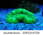 lps coral in saltwater reef... | Shutterstock . vector #1092314720