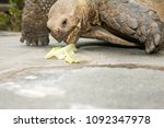 african spurred tortoise. close ... | Shutterstock . vector #1092347978