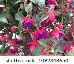 Colorful Fuchsia Magellanic     ...