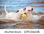 Two White Bull Terrier Dogs...