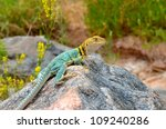 Male Collared Lizard On Boulder