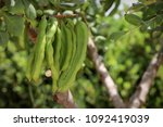 carob on tree  | Shutterstock . vector #1092419039