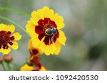 Bumblebee Bumble Bee...