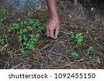 hand of male gardening weeding... | Shutterstock . vector #1092455150