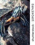turtle on stones serious look | Shutterstock . vector #1092457493
