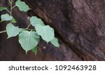 sacred fig on a rock | Shutterstock . vector #1092463928