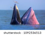 Bruda Whale Gulf Of Thailand