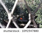 red bird trapped in... | Shutterstock . vector #1092547880