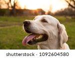 golden retriever on sunset... | Shutterstock . vector #1092604580
