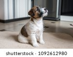 puppy jack russell terrier is... | Shutterstock . vector #1092612980