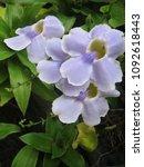 flower in the garden | Shutterstock . vector #1092618443