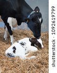 Mother Cow And Newborn Black...