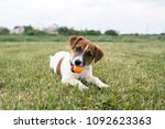 puppy jack russell is playing... | Shutterstock . vector #1092623363