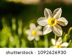 blooming narcissus daffodils.... | Shutterstock . vector #1092626930