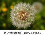 Small photo of Close-up of dandelion or bitter chicory. Taraxacum Officinale. Family Asteraceae. Fruit is an achene (cipsela) with a feathery vilano of spherical shape. Sierra de Guadarrama, Galapagar, Madrid, Spain