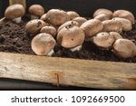 cultivation of brown... | Shutterstock . vector #1092669500