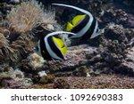 two heniochus acuminatus  indo... | Shutterstock . vector #1092690383