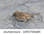 bird  eurasian tree sparrow ... | Shutterstock . vector #1092704684